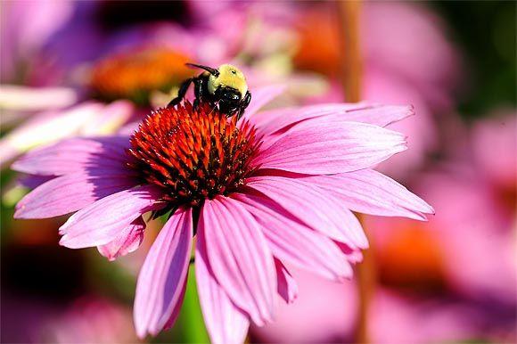 B�bor kasvir�g - Echinacea