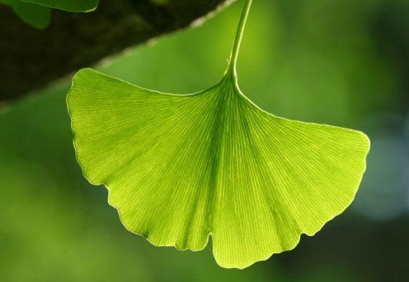 Ginkgo Biloba - Az egészséges vérkeringés és a kiegyensúlyozott idegrendszer gyógynövénye